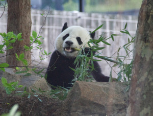A panda at the zoo.